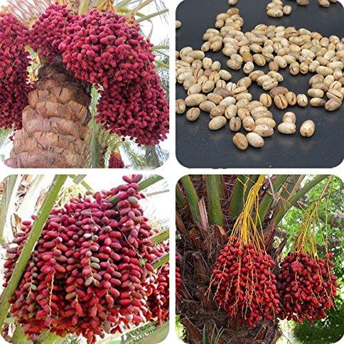 New Hierloom Heirloom New Medjool Date Palm Tree, 5 Seeds, indoor bonsai, outdoor planting E3528