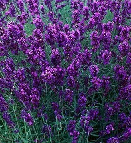 Portal Cool Blumen-Lavendel Hidcote ca. 50 Samen Freies Uk Porto