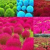 Cioler Seed House - 200 pièces graines d'herbe ornementales exotiques ours graine d'herbe Japon-sege semences couvre-sol hiver rustique vivace