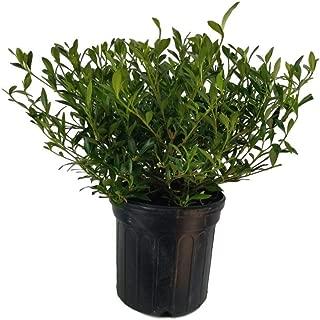 Radicans Dwarf Gardenia (Cape Jasmine), Full Gallon Pot