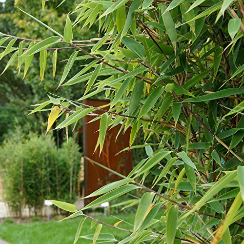 Pflanzen Kölle Bambus - Fargesia spathacea Red Zebra®, Zebrabambus, Höhe 80-100 cm, im 15 Liter Topf