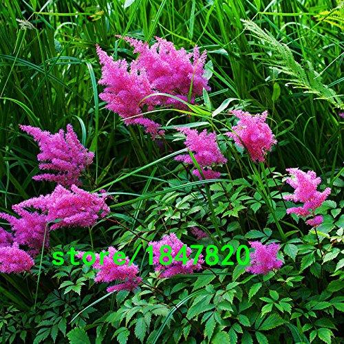 Hot Sale 6 catégories de couleurs disponibles Astilbe Chinensis Seeds Balcon Jardin en pot chinois Astilbe fleurs Graines 100PCS