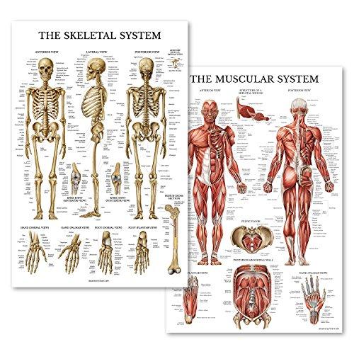 Muskulöser & Skeletal System Anatomischer Diagramm-Set–laminiert 2Poster Set–Menschliches Skelett & Muscle, Anatomie–Double Sided (18x 27) 18 x 27 Laminated