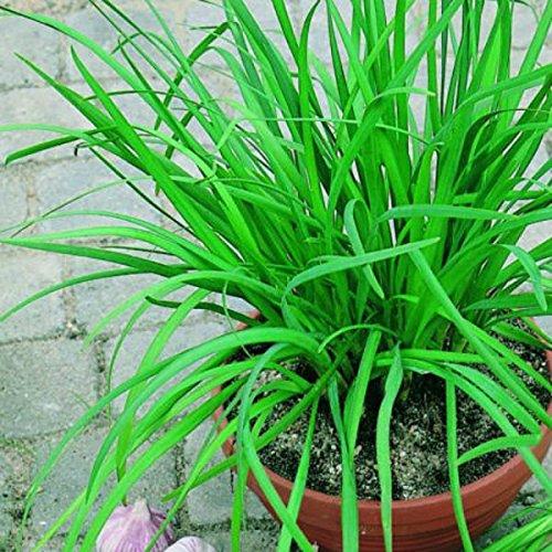 100 Pcs / Sac de stérilisation de légumes Graines géant ail vert de Chine Oignon Poireau Tasty Seeds Big Onion Potted Garden Bonsai plantes