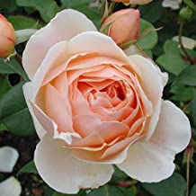 Own-Root One Gallon Jude The Obscure David Austin Rose by Heirloom Roses