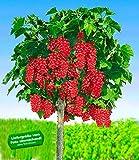 BALDUR-Garten Johannisbeeren 'Rote Rovada', 1 Stamm, Ribes rubrum Johannisbeerstamm Beerenobst winterhart