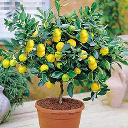 Yukio Samenhaus - 10Stück Zitronensamen Zitruspflanzen Obstsamen Baumsamen Bonsai, geeignet für Topf, Garten, Balkon (Gelb)