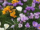 Krokus Zwiebeln (100 Stück) Blumenzwiebeln - MIX grossblumig 6/7 - Prachtmischung - mehrjährig - winterhart - SAISONWARE - NUR KURZE ZEIT ERHÄLTLICH