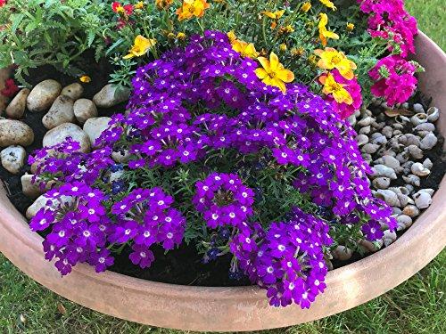 Verbenen 50 Samen ''Profusion Violet,Eisenkraut Samen