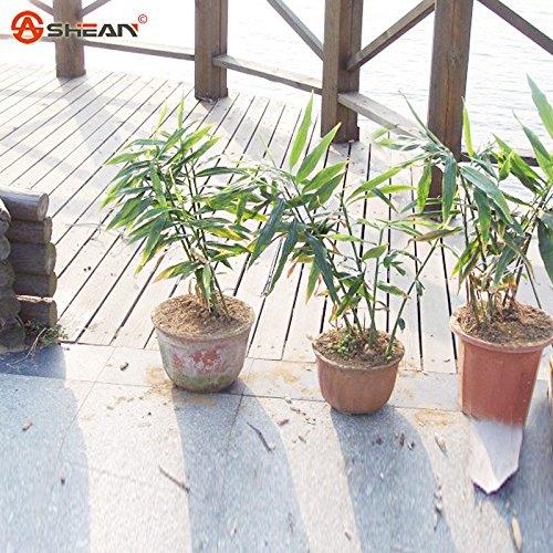 Ingwer Gemüsesamen Zingiber Officinale Samen Pflanze Balkon Gemüse Topf 100 Partikel / lot