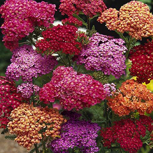 Outsidepride Achillea Yarrow Summer Berries Flower Seed - 1000 Seeds