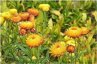 Golden Yellow Double Strawflower Helichrysum Bracteatum Flower Seeds 100 Seeds SVU20
