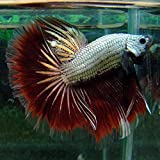 Halfmoon Butterfly Betta - Live Aquarium Tropical Fish
