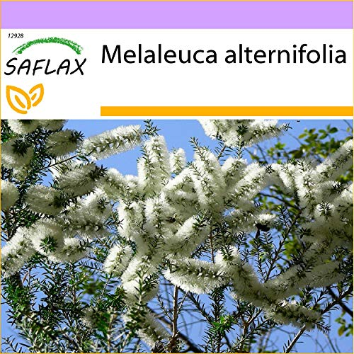SAFLAX - Arbre à thé - 400 graines - Melaleuca alternifolia
