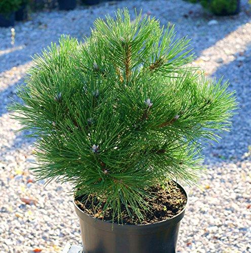 Schwarzkiefer Pinus nigra 100 Samen