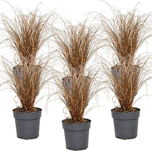 Carex 'Bronco' | Segge pro 6 Stück - Freilandpflanze im Baumschulsport cm12 cm - -3025-30 cm