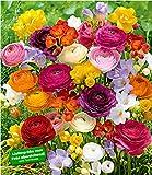 BALDUR-Garten Freesien- & Ranunkel-Mix Butterfly Beauty, 35 Zwiebeln Prachtmischung