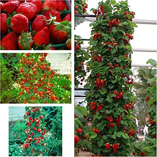SANHOC 100pcs Erdbeere Indoor Kletterpflanzen Samen Obst Hausgarten DIY Bonsai