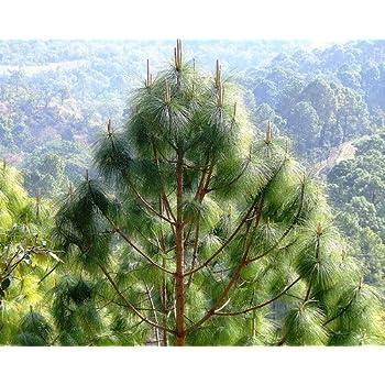 Creative Farmer Chir Pine Tree Seeds Himalayan Longleaf Pine Seeds 20 Seeds For Growing Amazon In Garden Outdoors