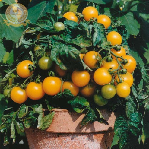 Graines Royaume-Uni Bright Red Yellow Bonsai Organic Tomate Cerise, Paquet vrac, 50 graines / Pack, comestible sucré Juicy Tomato KK017