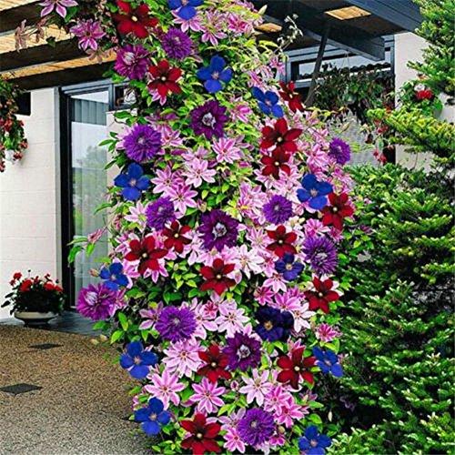 Semillas De Flores - Semillas De Plantas Trepadoras Delaman Clematis, Colores Mezclados, 100 Piezas, Maravillosas Floraciones Grandes