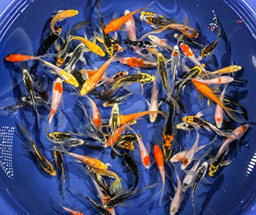 Blue Ridge Live Koi Fish Butterfly Fin - Garden Pond, Aquarium and Tank, Healthy and Bio-Secure - Grade A (5-6 inches, Lot of 3 Fish)