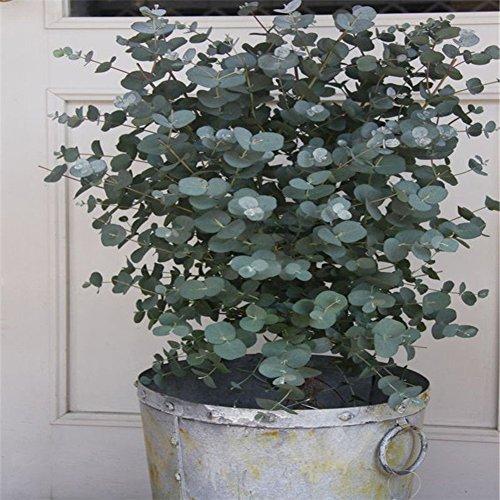 good01 30 Stücke Eukalyptus Baum Pflanzen Samen Outdoor Topf Bonsai Pflanzen Aromatherapie Tropische Dekoration