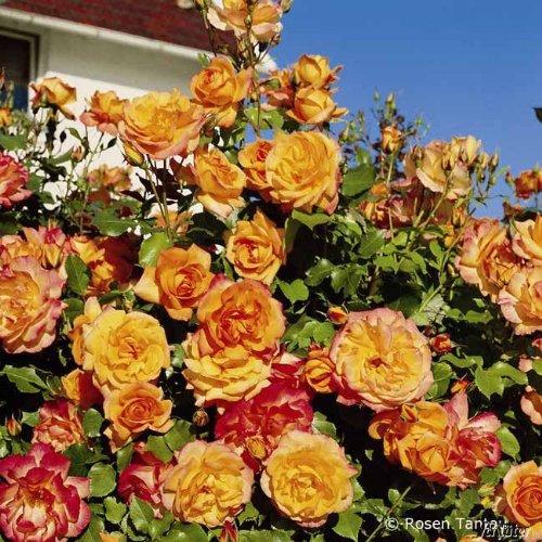 Rose Sahara Strauchrose mit Blüten-Farbe goldgelb bis bronzerot - Winterharte Blume mit leichtem Duft - Blütezeit von Juni bis August von Garten Schlüter - Pflanzen in Top Qualität