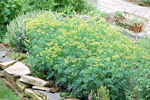 500 RUE Seeds,herb of Grace ,Common Rue (Ruta Graveolens) Organic!