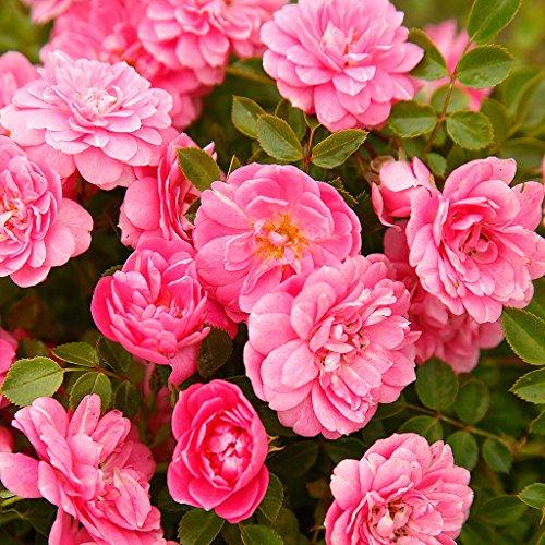 Kordes Rosen Sweet Knirps Kleinstrauchrose, zartrosa, 12 x 12 x 40 cm