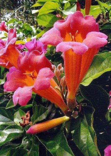 TROPICA - Bignonia selvatica »Rosa« (Campsis radicans syn. Distictus buccinatoria) - 20 Semi- Magic tropical