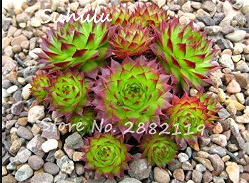 Pas cher 150 Pcs Mini Garden Succulentes Cactus Graines Variées Plantes vivaces Sempervivum Incroyable Maison Poireaux Cultivez Live Forever facile 5
