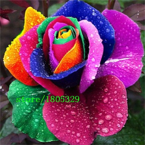 Bloom Green Co. GGG 50 Abracadabra Rose seeds, rare color,Osiria Rose gorgeous flower. the lover rose seed bonsai planting roses. : Purple
