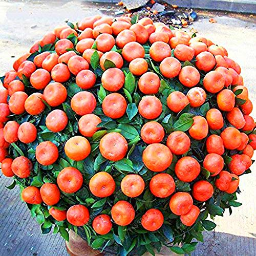 Bloom Green Co. bonsaïs 20 pcs/sac graines d'arbre orange Balcon arbres Patio pot fruits Graines Plantées Kumquat orange Tangerine Citrus