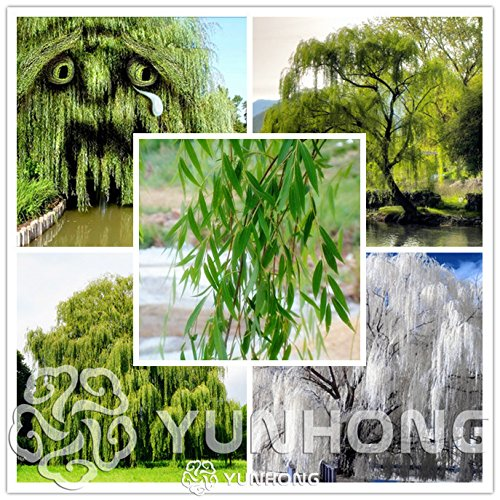 50 Stück schöne echte Samen frische Riesengarten Dekoration Grüne Weidenbaum Samen für Haus Garten Pflanze Bonsai 1