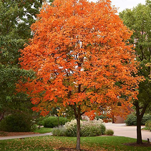 PAPCOOL Sugar Maple Trẹẹ Lịve Plạnt