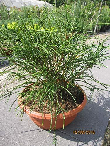 Thuja plicata Whipcord - Faden-Lebensbaum Whipcord