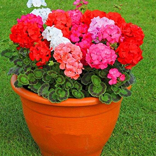 Deux couleurs Rouge Blanc univalve Géranium Graines Graines de fleurs vivaces Pelargonium peltatum Semences pour 100 graines Pièces d'intérieur/Sac 10
