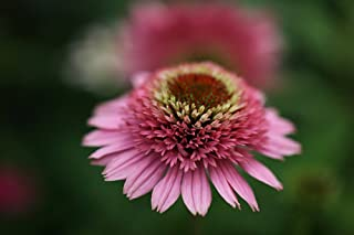 Butterfly Kisses Double Coneflower - Echinacea - 4
