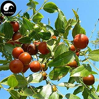 HIGH Germination Seeds:60pcs : Buy Jujube Tree Seeds Plant Ziziphus Jujuba for Suan Zao Ren