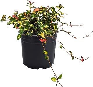 AMERICAN PLANT EXCHANGE Summer Sunset Asian Jasmine Live Plant, 6