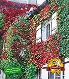 BALDUR-Garten Wilder Wein 'Veitchii', 3 Pflanzen Parthenocissus Kletterpflanze winterhart