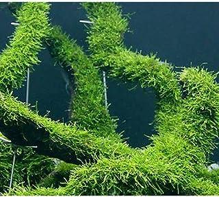 (水草)育成済 ウィローモス 流木 Lサイズ(無農薬)(1本) 本州・四国限定[生体]