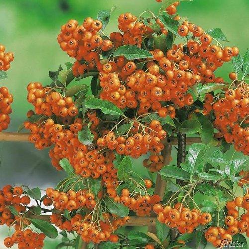 Feuerdorn Orange Glow Pyracantha Orange – Immergrüne Pflanze als Sichtschutz-Hecke - Heckenpflanze/Kletterpflanze von Garten Schlüter