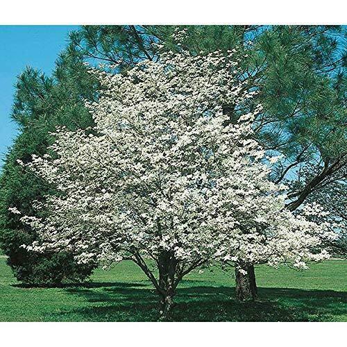 SmartMe 2 White Flowering Dogwood Trees 1- FT Flowering Trees