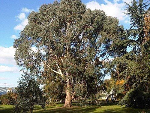 5 graines de gommier Montagne Eucalyptus dalrympleana Blanc