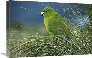 "Antipodes Parakeet Portrait in Tussock Grass, Antipodes Island, New Zealand-Canvas Art-24""x16"""