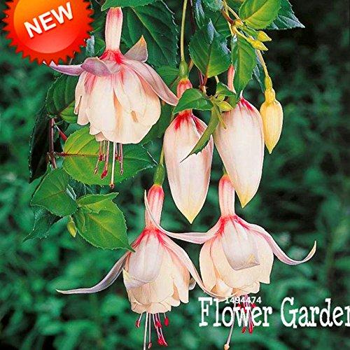 Big Sale! Rose Violet Fuchsia Fleurs de Bell Seeds Graines Plantes en pot de fleurs Hanging Fuchsia Fleurs 50 semences / Lot, # 834LU9