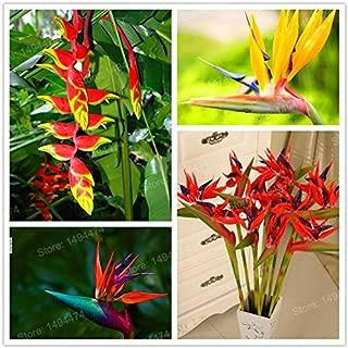 100/bag Hot Sale Rare Houseplants Strelitzia Reginae Seeds hybrid bird paradise seeds flower seeds bonsai plant for home garden