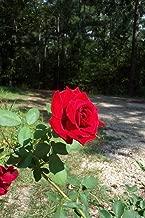 1 Plant Don Juan Climbing RED Rose 1 Gal. Plants Zones 5-9 Fragrant Disease Resist Roses